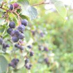 Saskatoon Berries, Manitoba, July 2012