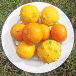 Weird-looking lemons make divine Citron Pressé