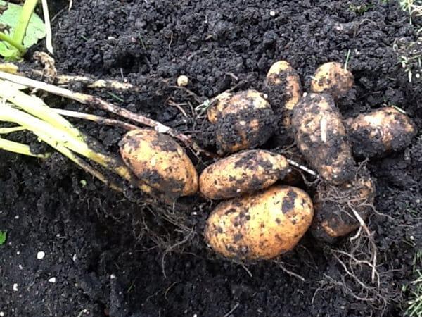 Mom's new garden potatoes make for the best ever potato recipe