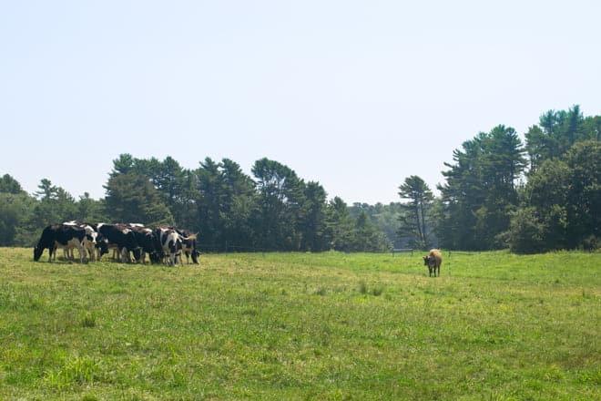 Happy Organic Dairy Cows